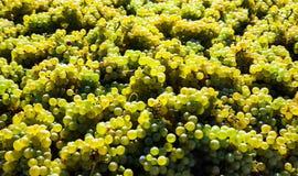 Год сбора винограда в виноградниках Стоковое Изображение RF
