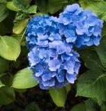Голубая азалия Стоковые Фото