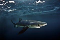 Голубая акула стоковое фото rf