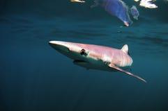 голубая акула Стоковое Изображение