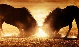 Голубая антилопа гну двойная в пыли Стоковое Изображение