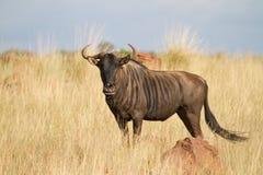 Голубая антилопа гну Стоковые Фотографии RF