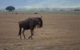 Голубая антилопа гну стоковые фото