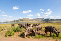 Голубая антилопа гну gazing Стоковые Фото