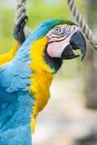 Голубая ара стоковое изображение