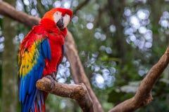 Голубая ара parrots птица на ветви дерева Стоковое фото RF