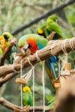 Голубая ара parrots птица на ветви дерева Стоковое Изображение RF
