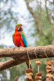 Голубая ара parrots птица на ветви дерева Стоковые Фото