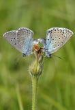 голубая бабочка большая Стоковое Изображение