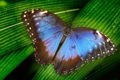 голубая бабочка Голубое Morpho, peleides Morpho, большая бабочка сидя на зеленых листьях Красивое насекомое в среду обитания прир Стоковые Фотографии RF