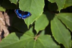 Голубая бабочка на зеленых лист Стоковая Фотография RF