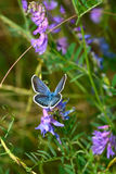 Голубая бабочка на фиолетовом цветке в саде стоковая фотография rf