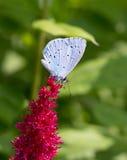 Голубая бабочка на astilba красного цвета цветка Стоковые Изображения