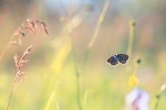 Голубая бабочка порхая на луге лета цветка стоковое фото
