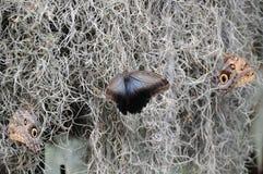 Голубая бабочка приостанавливанная в мхе spaghnam Стоковые Фото