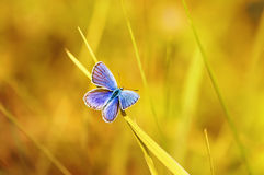голубая бабочка сидя на ярком солнечном луге Стоковые Фото
