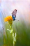 Голубая бабочка Стоковые Изображения RF