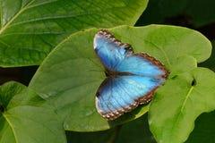 Голубая бабочка Morpho на листьях Стоковое фото RF
