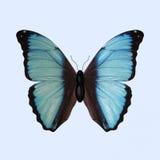 Голубая бабочка Morpho - Morpho Deidamia Стоковые Изображения RF