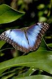 Голубая бабочка Morpho (peleides Morpho) Стоковые Фото
