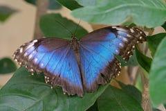 Голубая бабочка Morpho, peleides Morpho Стоковая Фотография RF