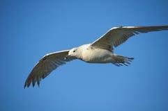 голубая белизна неба чайки Стоковые Изображения