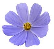 Голубая белизна Kosmeja цветка изолировала предпосылку с путем клиппирования Отсутствие теней closeup Стоковое Изображение