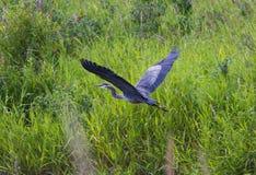 голубая большая цапля Стоковые Изображения RF