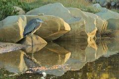 голубая большая цапля Стоковое Изображение RF