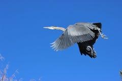 голубая большая цапля стоковое фото rf