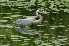 голубая большая цапля wading Стоковая Фотография RF