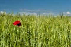 голубая весна неба зеленого цвета травы поля Стоковое Изображение