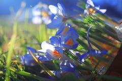 голубая весна цветков Стоковые Изображения