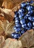 голубая виноградина зрелая Стоковое фото RF