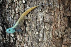 Голубая возглавленная агама дерева (Acanthocercus Atricollis) Стоковое фото RF