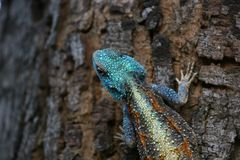 Голубая возглавленная ящерица агамы дерева Стоковое Фото