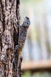 Голубая возглавленная ящерица агамы Стоковая Фотография RF