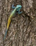 Голубая возглавленная ящерица агамы Стоковое фото RF