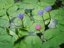 голубая вода лилии Стоковые Изображения RF