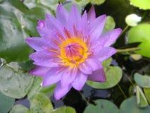 голубая вода лилии Стоковая Фотография