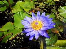 голубая вода лилии стоковое фото rf