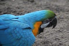 Голубая голова ары стоковое фото