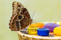 Голубая еда бабочки Morpho Стоковая Фотография RF