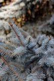 голубая ель Стоковые Изображения RF