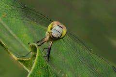 Голубая земная шумовка & x28; female& x29; Dragonfly стоковые изображения
