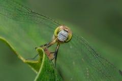 Голубая земная шумовка & x28; female& x29; Dragonfly стоковое изображение rf