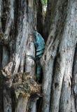 Голубая игуана Стоковое Фото