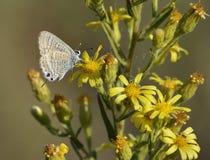 голубая длиной замкнутая бабочка Стоковое фото RF