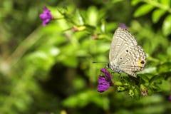 голубая длиной замкнутая бабочка Стоковые Изображения