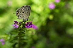 голубая длиной замкнутая бабочка Стоковые Фото